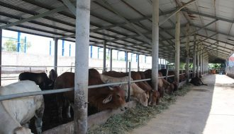 Phương pháp chăn nuôi bò nhốt chuồng theo mô hình đúng chuẩn cho bà con nông dân