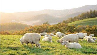 Phương pháp chăn nuôi cừu mẹ và cừu con đem lại hiệu quả cao