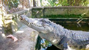 Kỹ thuật làm chuồng cá sấu đảm bảo an toàn cho người nuôi