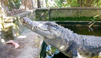 Phương pháp làm chuồng cá sấu đảm bảo an toàn cho người nuôi