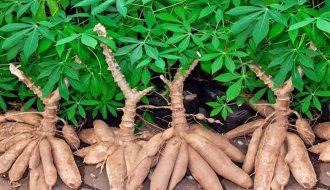 Phương pháp trồng và chăm sóc cây sắn mà người trồng trọt có thể tham khảo