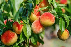 Phương pháp trồng đào ăn quả đạt năng suất cao