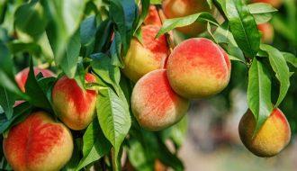 Quy trình trồng đào ăn quả đạt năng suất cao