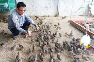 Tặng bạn cách nuôi chim cút non siêu dễ, tránh bệnh tật