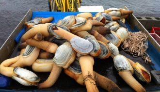 Nuôi tu hài đúng kỹ thuật giúp mang đến hiệu quả kinh tế cao cho ngư dân