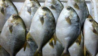 Tham khảo kỹ thuật chọn giống và chăm sóc cá chim trắng vây vàng từ a đến z