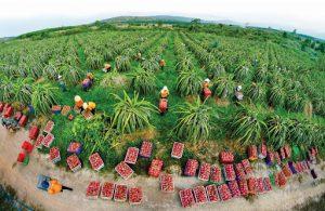 Thị trường thanh long rớt giá, nông dân Bình Thuận, Long An lo lắng