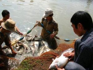 Phương pháp nuôi ghép cá thát lát và cá sặc rằn