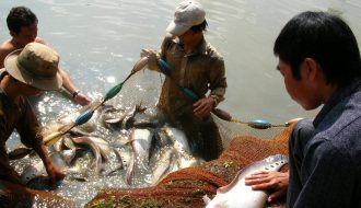 Tìm hiểu kỹ thuật nuôi ghép cá thát lát với cá sặc rằn hiệu quả nhất 2021