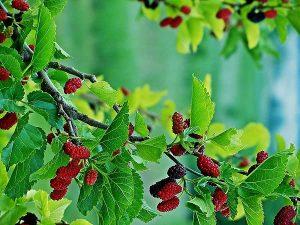 Tìm hiểu kỹ thuật trồng cây dâu tằm lấy quả thay vì thu hoạch lá