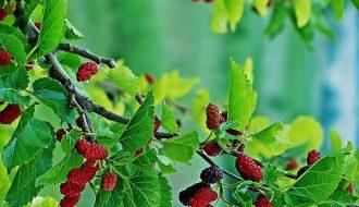 Tìm hiểu phương pháp trồng cây dâu tằm lấy quả thay vì thu hoạch lá