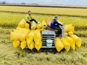 Giá gạo Thái Lan xuất khẩu vẫn vượt Việt Nam