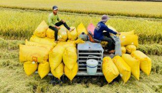 Vì sao xuất khẩu giảm nhưng giá gạo Thái Lan vẫn cao hơn Việt Nam?