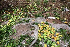Xoài bị rụng trái gây thiệt hại kinh tế